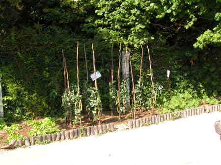 Les légumes poussent dans la jardin!