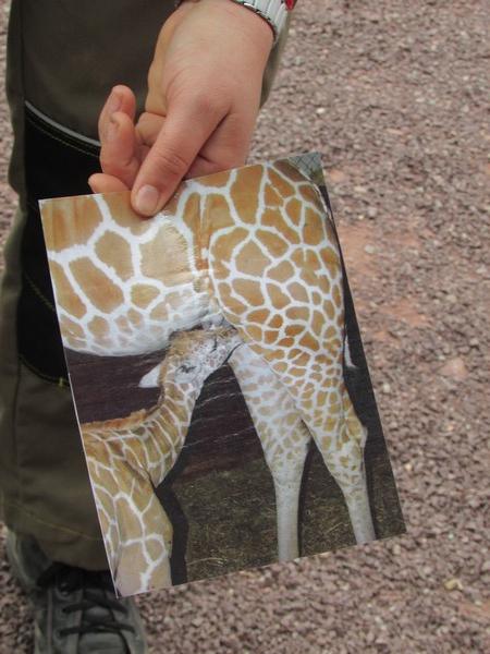 Les girafes au zoo de Jurques