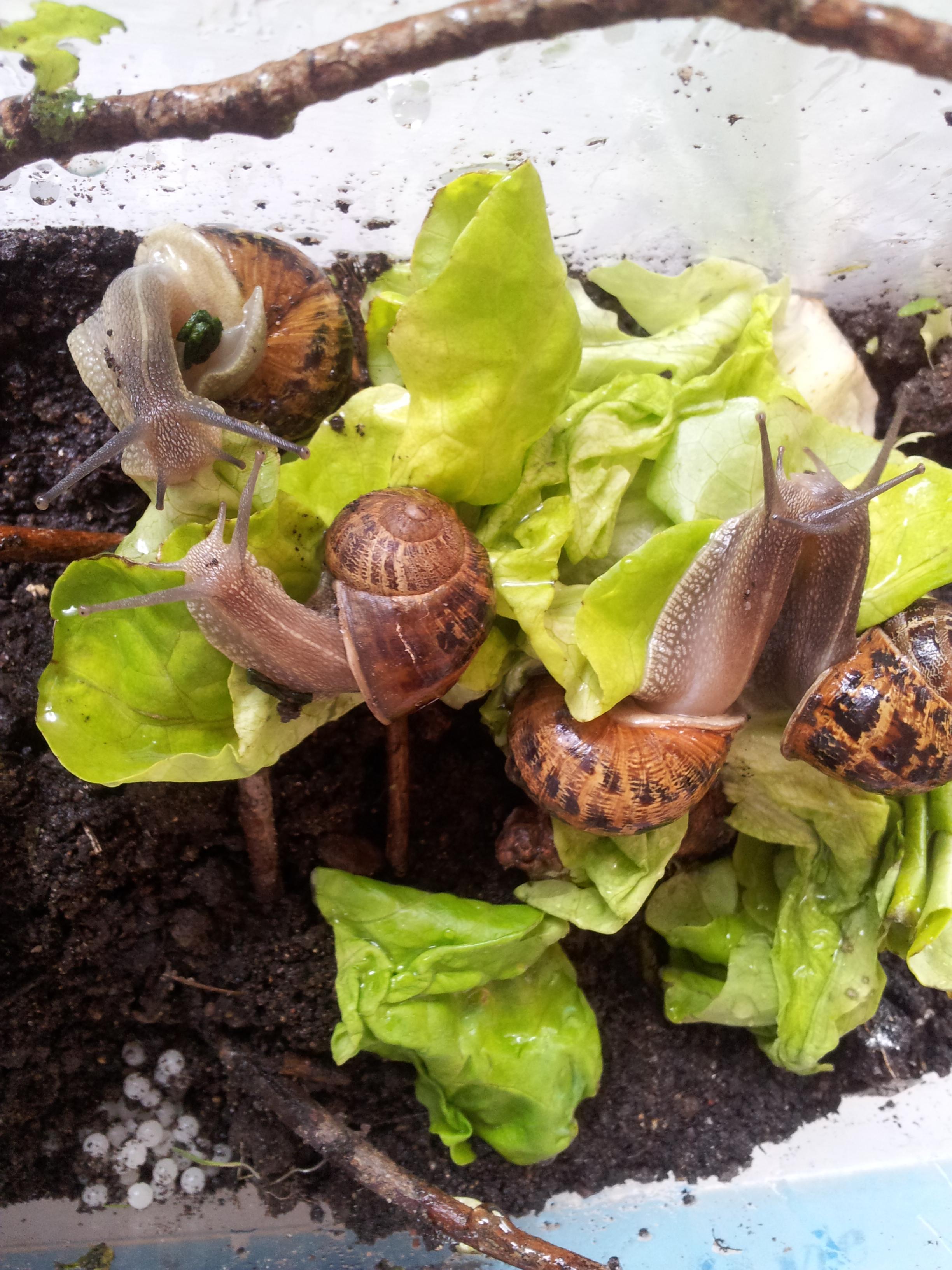 Elevage d'escargots