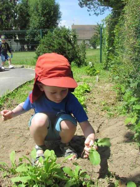 Cueillette des radis ...