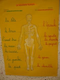 Les corps humain et les articulations