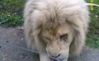 A la découverte du lion blanc