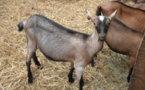 Visite à la chèvrerie.