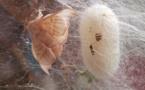 La vie d'un ver à soie...